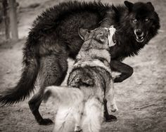 This is me and you in wolf form @Selene Hernandez  Check out this wolf board it's so cool!