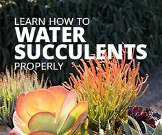 Find out how you should be watering your indoor and outdoor succulents