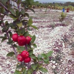 > #Jaraguenses cultivan hermosas cerezas https://www.instagram.com/p/BCWURPLmOlZ/