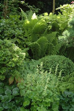 Shade garden with hosta, fern, ladys mantle, boxwood, wild ginger and more.: Shade garden with hos Landscape Design, Garden Design, Plant Design, Shade Garden Plants, Green Plants, Garden Shrubs, Shaded Garden, Hosta Gardens, Boxwood Garden