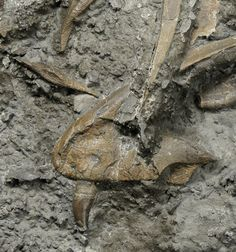 Jaw and skull fossil material of the newly discovered small, meat-eating dinosaur from Wales.