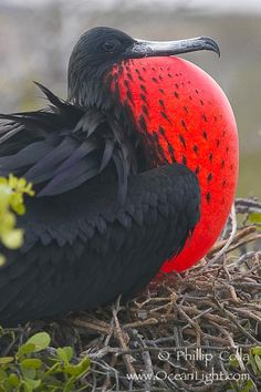 Magnificent frigatebird, adult male on nest, with throat pouch inflated, a courtship display to attract females. North Seymour Island, Galapagos Islands, Ecuador