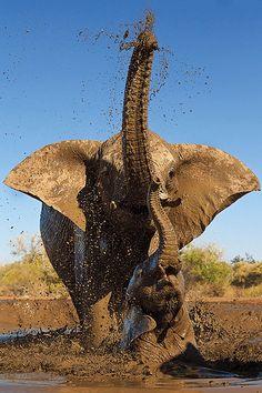 AFRICAN BUSH ELEPHANTS Loxodonta africana  Mashatu Game Reserve Bobirwa Province, Botswana By Mike Dexter  Durban, South Africa