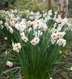 Narcissus 'Geranium': heavily scented £3.99 for 10 bulbs from Crocus.co.uk