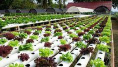 ¿Qué es un cultivo hidropónico? ¿Es posible hacerlo exitósamente en casa? http://www.biodisol.com/desarrollo-sostenible/hidroponia-que-es-un-cultivo-hidroponico-es-posible-hacerlo-exitosamente-en-casa/