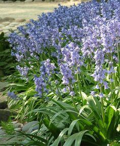 Hyacinthoides hispanica Excelsior - Scilla - Hyacinthoides - Fall 2014 Flower Bulbs