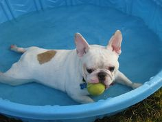 'Kirby', the French Bulldog chiilin' in the Pool.