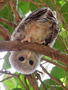 Baby african wood owl