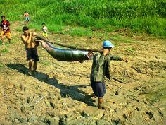 A produção sustentável do Pirarucu é uma realidade no município de Coari, Amazonas - Brasil