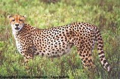 cheetah-pic002l
