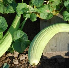Concombre Arménien, légume spécial, goût très doux,  peu de plants disponibles...
