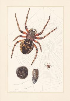 French school chart published in Paris. 60 years old. Frame it or use it for cards. Pet Spider, Spider Art, Spider Tattoo, Weird Insects, Garden Spider, Painting The Roses Red, Historia Natural, Matchbox Art, French School