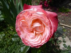 (145) The Friends of Vintage Roses
