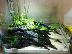 my wabi-kusa - Arofanatics Fish Talk Forums