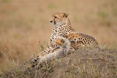 Cheetah & her cubs