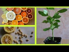 COMMENT FAIRE GERMER DES PÉPINS D'AGRUMES 🍋 citron orange mandarine clémentine pamplemousse pomelo - YouTube Kumquat, Comment Planter, Plantation, Garden Tips, Orange, Fruit, Permaculture, The Creator, Planters