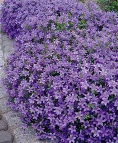 "Campanula ""bellflower"" variety.  Mounds & spreads to 12"" - full sun to partial shade. Reminds me of Ginny :-)"