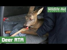 This Man Finds An Injured Deer On The Road And Does Something Pretty Heartwarming.... - NewsLinQ
