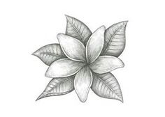 Jasmine Flower Drawings - Bing Images