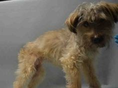 ♡ MY LIFE MATTERS ♡ SENIOR ALERT ♡ TAI – A1061630 SPAYED FEMALE, BROWN, YORKSHIRE TERR MIX, 10 yrs STRAY – STRAY WAIT, HOLD FOR ID Reason STRAY Intake condition UNSPECIFIE Intake Date 12/28/2015, From NY 11208, DueOut Date 12/31/2015,