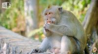 """O Grito do Bicho"": Fotógrafo filma macacos roubando turistas - Tailân..."