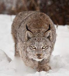 Angie the Canadian Lynx by Christopher R. Gray, via 500px