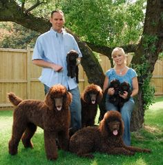 Standard poodle puppies, Standard poodles,Red standard poodles, Dark red standard poodles,Standard poodle puppies for sale, AKC Red standard poodle