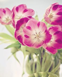 ready to ship tulips photograph / fresh spring / by shannonpix, $28.00