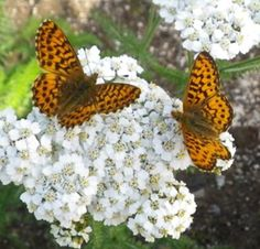 Attractive to both bees and butterflies, yarrow flowers are long lasting and great for cutting and drying.  Herbaceous perennial. Flowers mid to late summer. Photo Credit:USFWS/ N.Torre