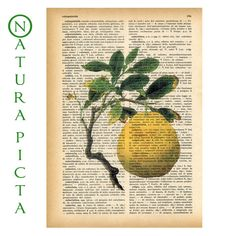 Lemon dictionary print - on Upcycled Vintage Dictionary page - by NATURA PICTA