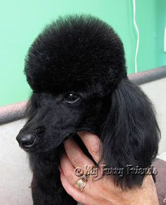 Pet Grooming: The Good, The Bad, & The Furry: Poodle Topknots Lovely poodle top knot. Pet Grooming: The Good, The Bad, & The Furry: Poodle To… Source by nessiemay Dog Grooming Tips, Poodle Grooming, Dog Grooming Business, Yorkie Poodle, Poodle Puppies, Grooming Salon, Lab Puppies, Black Standard Poodle, Standard Poodles