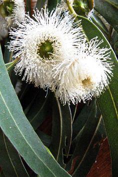 Tasmanian Blue Gum (Eucalyptus globulus) is one of 500 Eucalyptus species native to Australia. Proclaimed as the floral emblem of Tasmania on 27 November the Tasmanian Blue Gum was first coll… Unusual Flowers, Unusual Plants, Exotic Plants, White Flowers, Beautiful Flowers, Australian Wildflowers, Australian Native Flowers, Australian Plants, Eucalyptus Tree