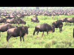 Серенгети. Миграция. Нескончаемый бег полутора миллионов антилоп гну
