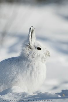 Snowshoe hare in winter white pelage, snow covered tundra, Brooks Range, Arctic, Alaska. Arctic Hare, Arctic Tundra, Arctic Animals, Forest Animals, Grassland Biome, Hare Images, Snowshoe Hare, Wild Rabbit, Rabbit Illustration