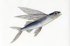 flying-fish-373.jpg 1,200×795 pixels
