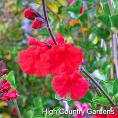 Salvia Red Velvet