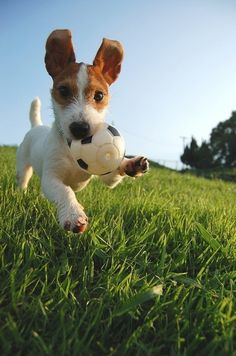 adorable dog running with a little ball