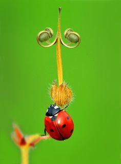 RED | Ladybug Macro | by Mustafa Öztürk
