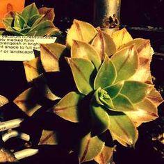 Aeonium decorum 'Berry Nice'atSan Marcos Growers