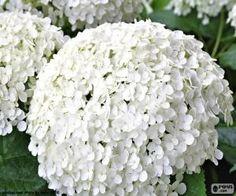 Flores blancas de Hortensia / Hydrangea with beautiful white flowers