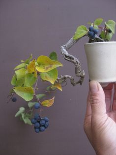 『盆栽:白実藪柑子』