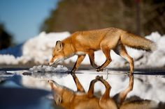 Fox walking over his reflection [2048x1363]. wallpaper/ background for iPad mini/ air/ 2 / pro/ laptop @dquocbuu