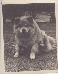 Vintage Photo/Fluffy Dog Chow Chow/Smiling Black White/Pet Animal Must See
