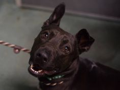 TO BE DESTROYED - 01/23/15 Brooklyn Center ***NEW PHOTO***  My name is MITCH. My Animal ID # is A1025779. I am a male black labrador retr mix. The shelter thinks I am about 3 YEARS old.  I came in the shelter as a STRAY on 01/18/2015 from NY 11691, owner surrender reason stated was STRAY.  https://www.facebook.com/Urgentdeathrowdogs/photos/a.611290788883804.1073741851.152876678058553/948584058487807/?type=3&theater