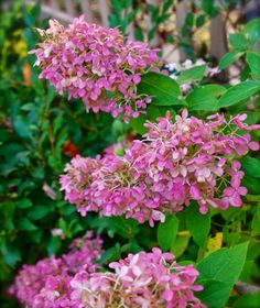 Hydrangea 'Limelight' changes from white to vibrant pink as October continues in Pennsylvania. ~WMG
