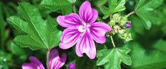 MALVA: Una pianta che cresce ovunque e di cui la maggior parte delle persone ignorano le utilissime proprietà terapeutiche. Questa pianta contiene delle mucillagini che gli conferiscono proprietà emollienti e antinfiammatorie per tutti i tessuti molli del corpo. Si possono raccogliere le foglie e i fiori per fare delle ottime tisane utili per tantissimi scopi. Per sempio ha un ottimo effetto lassativo ed è utile in caso di stitichezza.