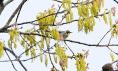 Yellow-throated Warbler: 11 April 2015, Belle Isle State park, Lancaster, VA, 8:15 a.m., mostly cloudy, slight breeze, 50 degrees