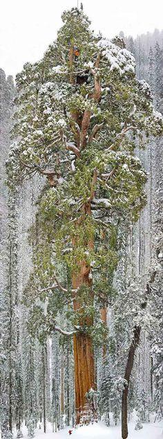13. El Presidente, Sequoia National Park, California. El Presidente, un árbol emblemático pues fue modelo para una foto de National Geographic, mediante una verdadera hazaña de los científicos que tuvieron que tomar 126 instantáneas para lograr la imagen total.