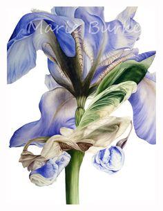 Blue Iris II  fine art botanical print by marieburke1 on Etsy, $22.00