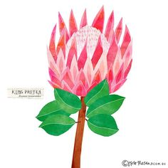 King Protea sketched for @projectadelaide this week. A tricky & complex flower to illustrate but so interesting & beautiful. #illustration #messymisskate #projectadelaide @ingramzoe | by Kate Mason @ messy Miss Kate